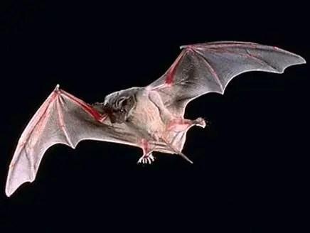 الخفافيش مصدر العدوى بفيروس كورونا القاتل
