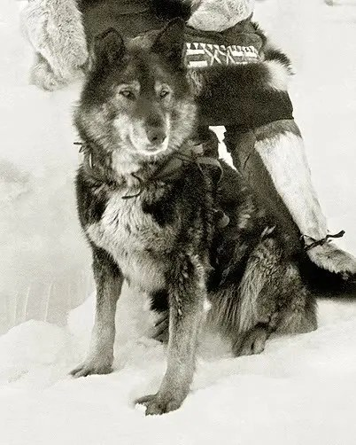 A picture of Togo dog