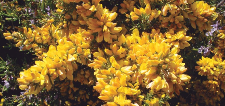 flor de bach aulaga