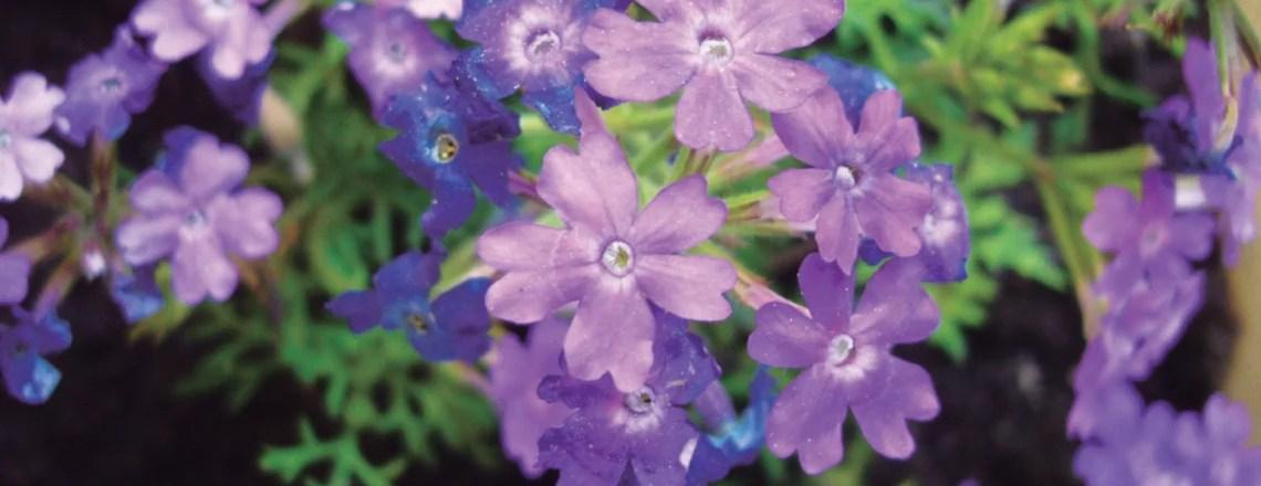 Flor de bach – Ceratostigma