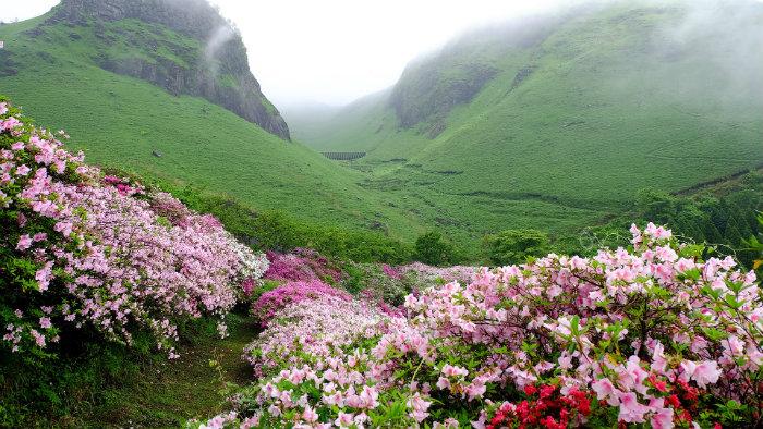 Azaleia-aso-japan_Equinócio-da-Primavera-no-Japão-10-dicas-do-que-fazer-nessa-estação_Viajando-para-o-Japão_Vida-de-Tsuge-VDT