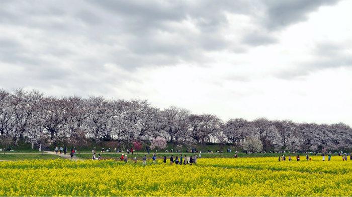 Nanohana Gongendo Park - Primavera no Japão - Vida de Tsuge