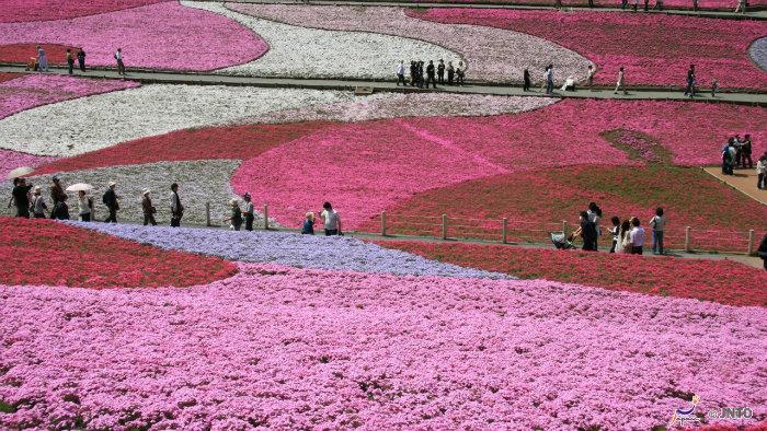 hitsujiyama shibazakura m155403-jnto - Primavera no Japão - Vida de Tsuge