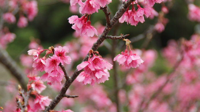 sakura-okinawa-free-2309305_pixa_explorando-o-sakura-matsuri_viagem-japao_vida-de-tsuge-vdt