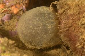 Puesta de gusano tubícola