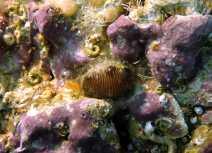 El caracol Trivia monacha, una especie presente en las piscinas del Forum