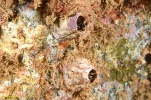 Balanus perforatus