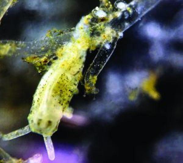 Polycerella emertoni sobre el briozoo Amathia verticillata