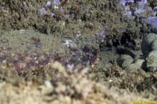 Holothuria tubulosa