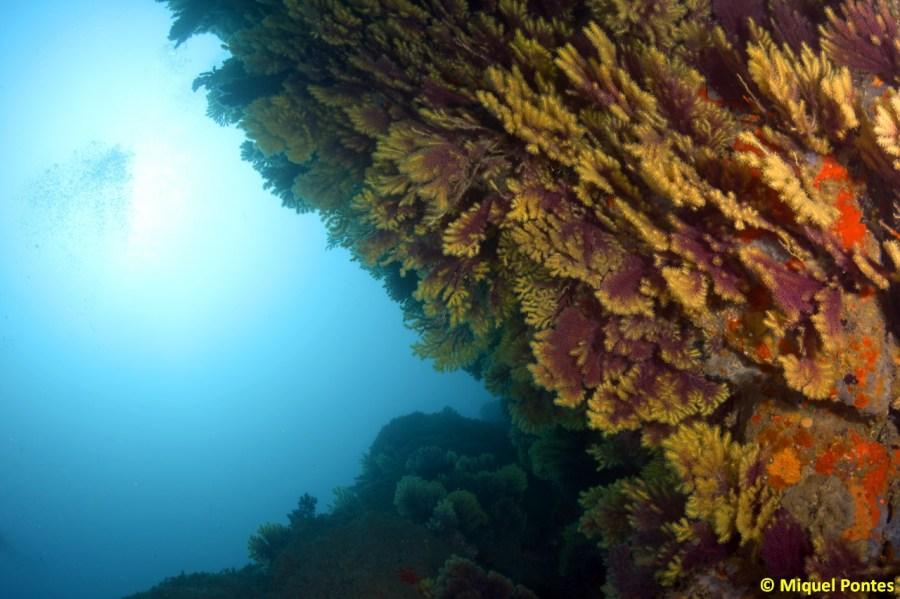 Paredes recubiertas de gorgonias Paramuricea clavata por Miquel Pontes