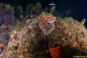 Pulpo (Octopus vulgaris) a la caza de oportunidades, por Miquel Pontes