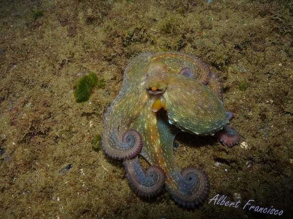 Octopus vulgaris por Albert Francisco