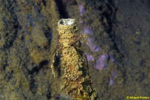 Sabella spallanzanii (tubo únicamente)