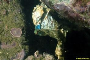 Paracentrotus lividus con plástico