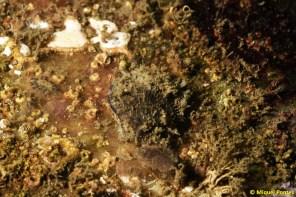 Chlamys varia i Botryllus schlosseri