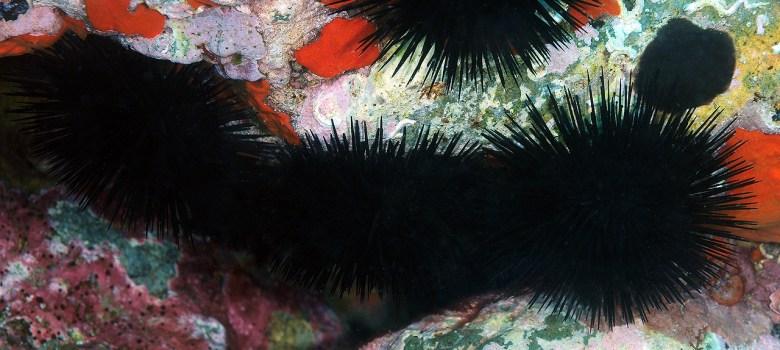 Erizos de mar Arbacia lixula por Miquel Pontes