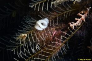 Puesta de Doto koenneckeri sobre Aglaophenia pluma por Miquel Pontes