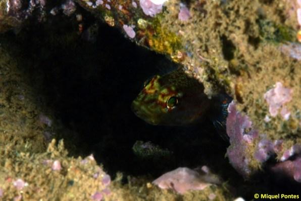 Gobius xanthocephalus