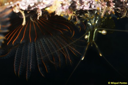Branchiomma luctuosum, Mytilus galloprovincialis y Palaemon elegans por Miquel Pontes