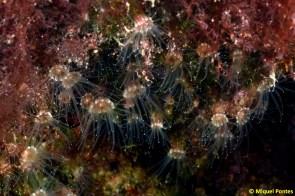 Epizoanthus arenaceus por Miquel Pontes
