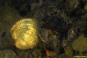 Venus verrucosa i Thais haemostoma