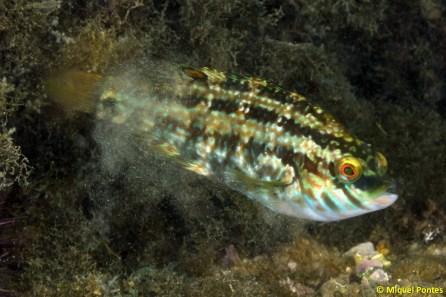Symphodus roissali