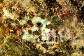 Cliona viridis