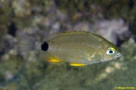 Diplodus annularis juvenil