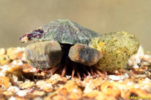 Paracentrotus lividus tapant-se amb una conquilla de lapa