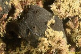 Esponja Ircinia cf. oros