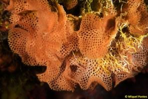Reteporella grimaldii