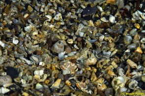 Fondo de conchas