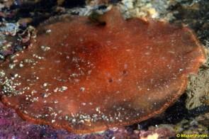 Planocera ceratommata