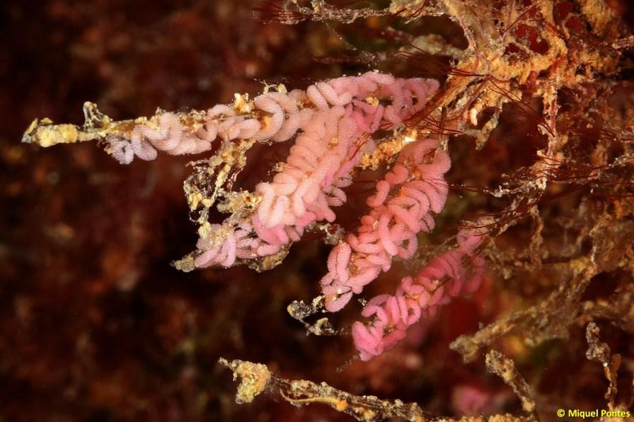 Puestas de Flabellina affinis