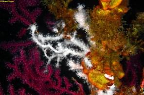 Alcyonium coralloides por Miquel Pontes