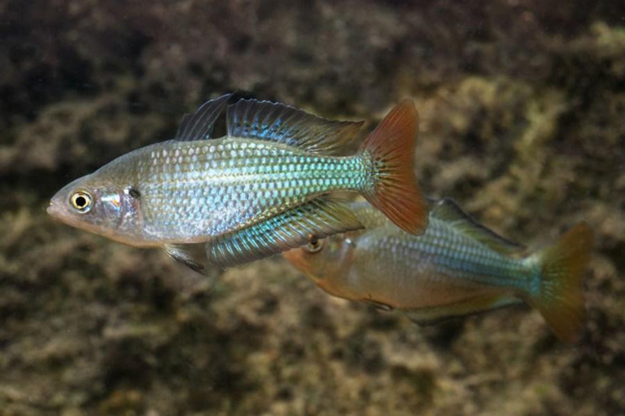 Murray River Rainbowfish, Melanotaenia fluviatilis. Source: Gunther Schmida / http://www.guntherschmida.com.au. License: CC BY Attribution-Noncommercial