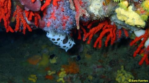 Peltodoris atromaculata entre Corallium rubrum por Sara Fuertes