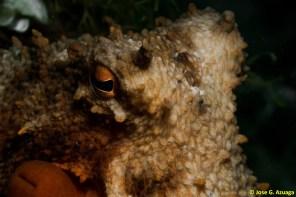 Octopus vulgaris por Jose G.Azuaga