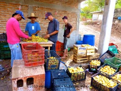 Mango season is in full swing!