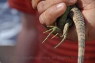Baby iguana fiit