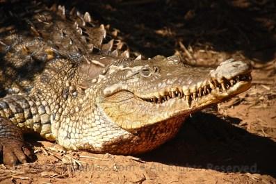 A crocodile in captivity