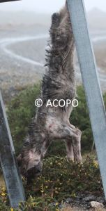 caza de lobos en galicia