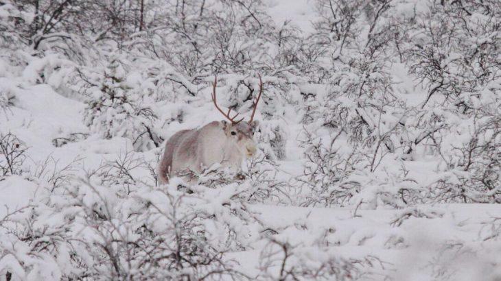 Rudolph, la rena de nariz roja