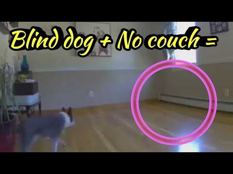 شاهد ماذا حصل لكلب أعمى نقلت أريكته من مكانها