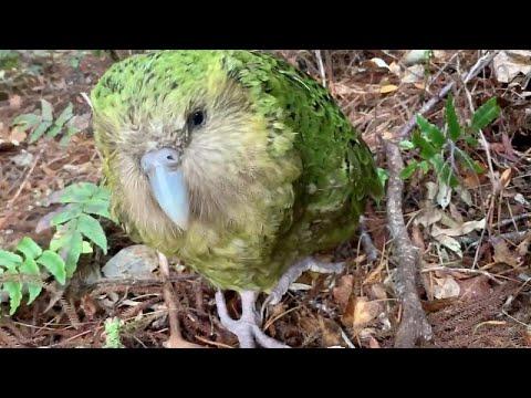 الببغاء الأسمن يظهر في نيوزيلندا
