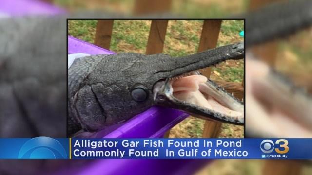 العثور على سمكة تشبه تمساحًا في بركة بولاية أمريكية