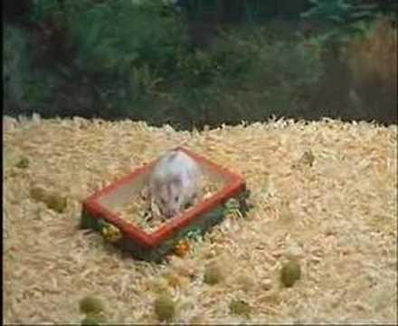 Το χάμστερ και οι ανάποδες τούμπες. Somersault hamster.