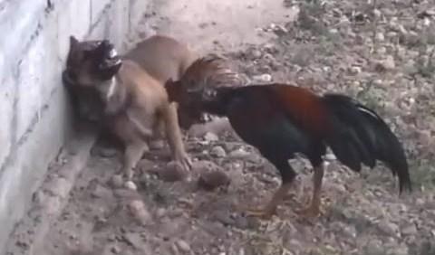Ο κόκορας απ την Κόλαση – Rooster from Hell