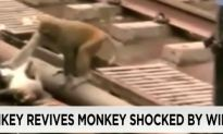 Amazing Video of Monkey Reviving His Friend
