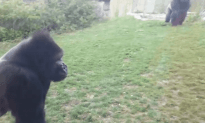 Here is Why You Don't Beat Your Chest at a Gorilla